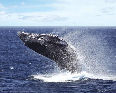 SOH Whale1