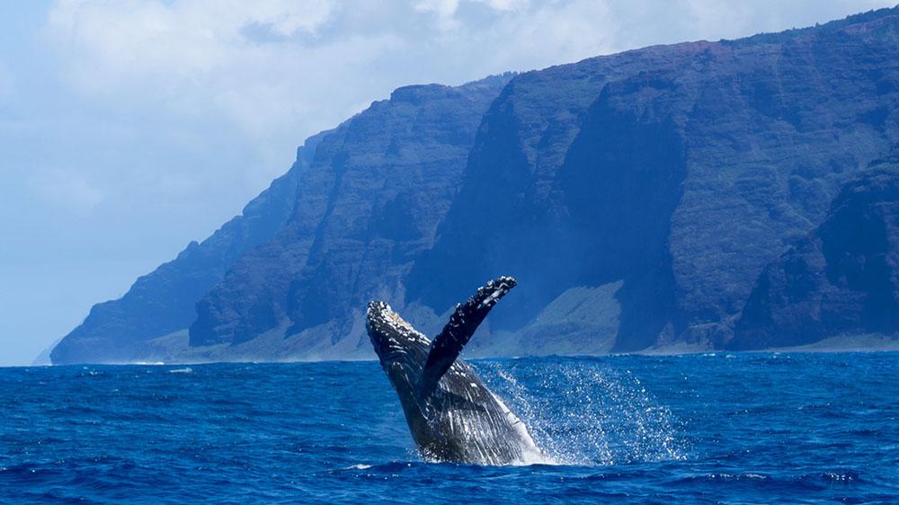 Holo Holo Charters Humpback Whale