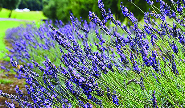 Some of the lavender to be found at Ali'i Kula