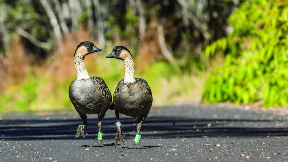 Endangered nēnē, Hawaiian goose [Photo NPS / Janice Wei]