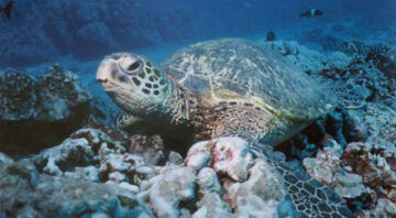 Boss Frog's Snorkel, Bike & Beach Rentals - Big Island Hawaii